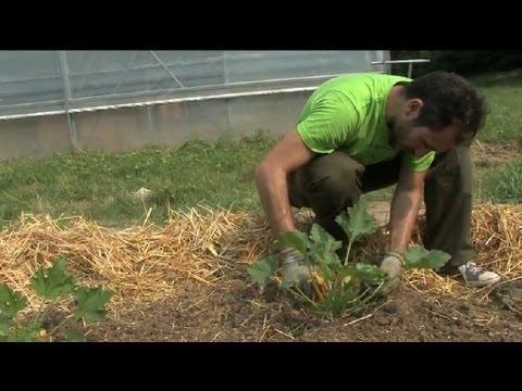 Zucchini Come Coltivarli Dalla Semina Al Raccolto