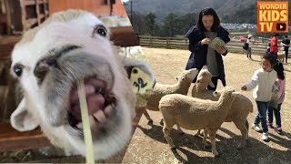 대관령 하늘목장에 왔어요! 목장체험 말타기 트랙터타기 양먹이주기 체험기 흥미로운 가족여행 family travel vlog