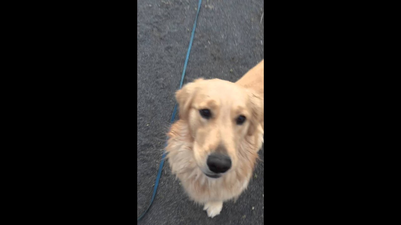 犬 ゴールデンレトリバー【可愛い動画】