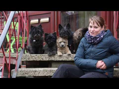 Gassi mit der Hundebande Hundekanal   Cairn Terrier