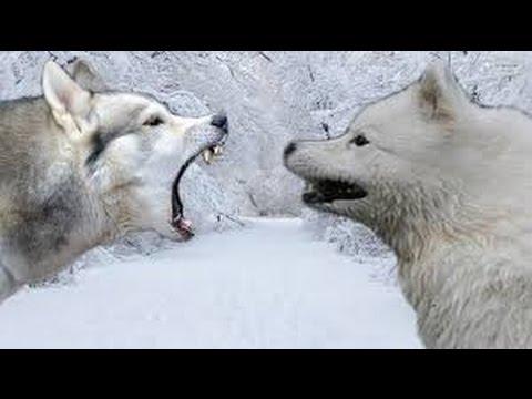 Siberian Husky vs Samoyed - Highlights