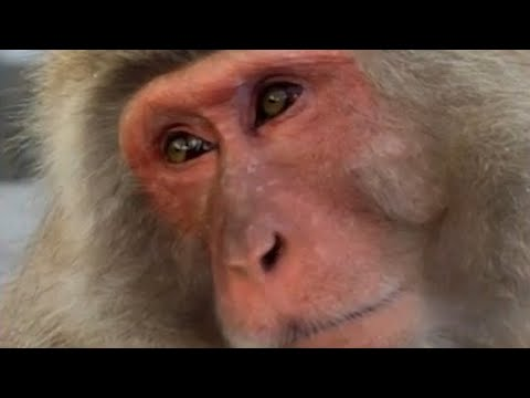 Nippon Marathon but now there's monkeys |