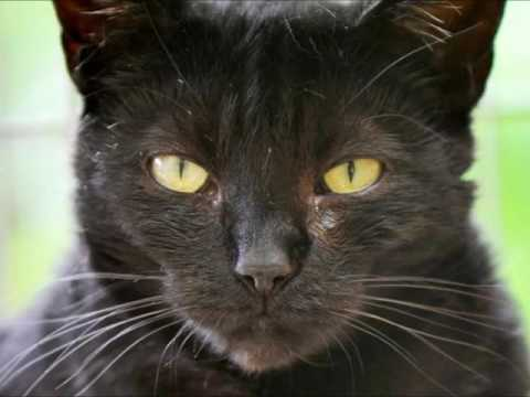 Black Cats Compilation - Cute and Evil Cats