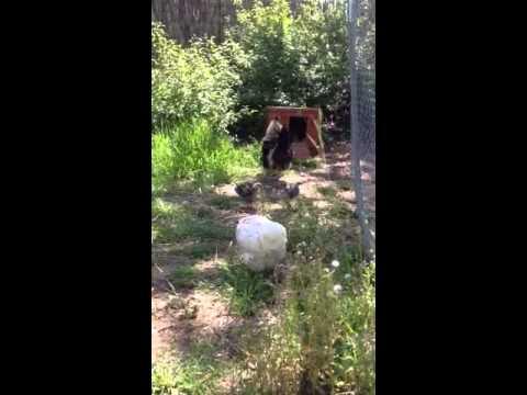 Cris pendant qu 39 une poule pond youtube - A quelle age pond une poule ...