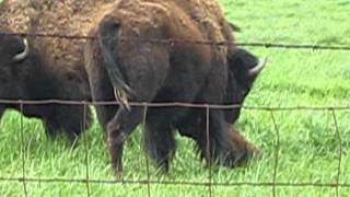 Buffalo gives birth at Orrs Farm Market ~ Inwood, WV
