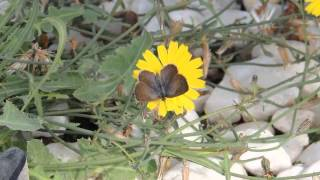 African Grass Blue    Zizeeria knysna