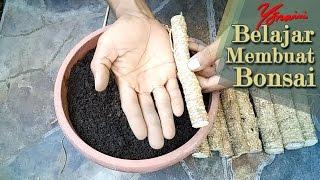 Cara Membuat Bonsai Kawista dari Stek Akar