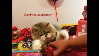 Valentine's day cat