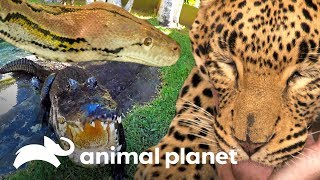 Top 3: depredadores increíbles | Los Irwin | Animal Planet