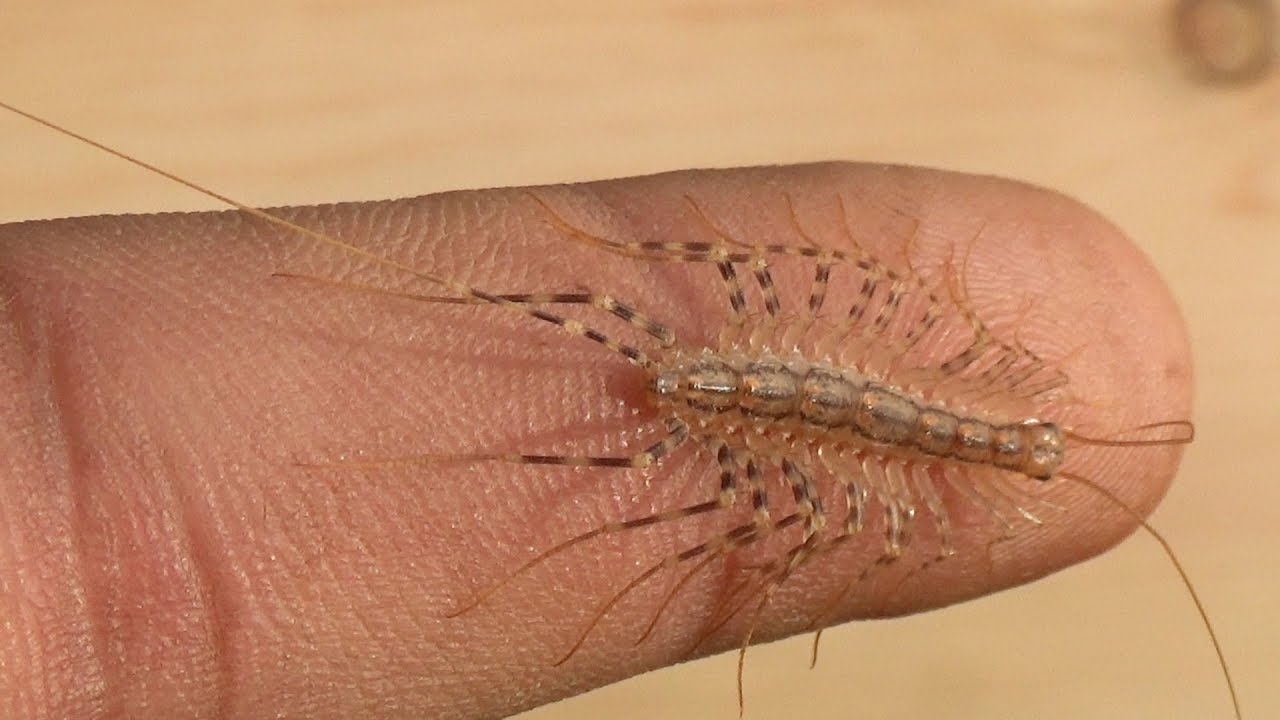 will it bite house centipede the insect ur youtube