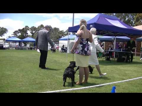 Staffordshire Bull Terrier in dog show Melbourne