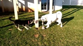 Alize And Bertie Bea From National Great Pyrenees Rescue
