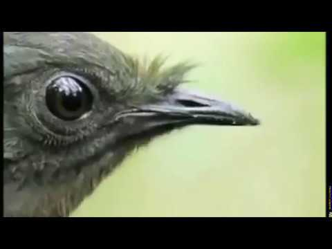 The most complex bird song in the world