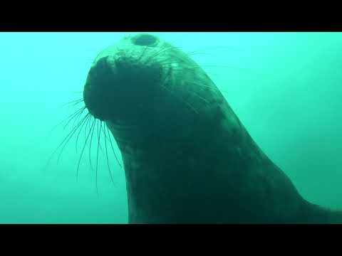 Diveworld Videos | Diveworld with the Farne Island Seals part 3