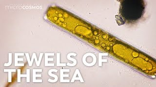 Diatoms: Tiny Factories You Can See From Space