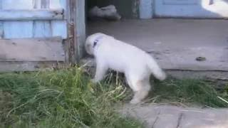 VLOG : Лабрадор - перші тижні життя (RUDI)