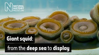 Giant squid: from the deep sea to display | Natural History Museum thumbnail