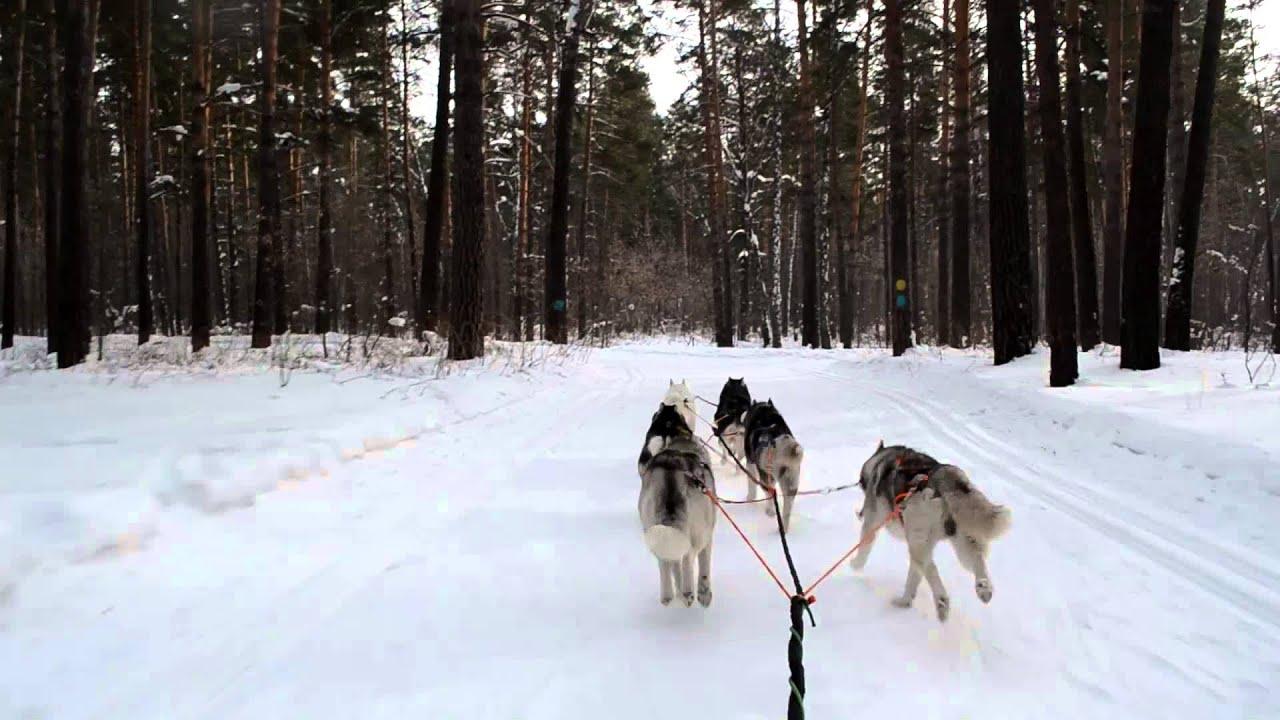 Собаки и щенки породы сибирский хаски. На доске объявлений olx казахстан легко и быстро можно купить щенка сибирского хаски. Заведи друга прямо сейчас!