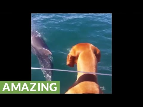 Curious dog fascinated with dolphin pod