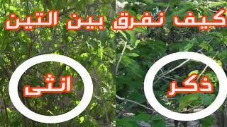 كيف نفرق بين شجرة التين الذكر والانثى   How to distinguish between a male and a female fig tree