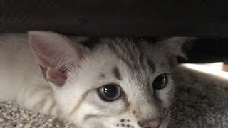 Snow Bengal Kittens  12 weeks (3 months)