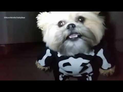 Munchkin the Teddy Bear spooky Halloween