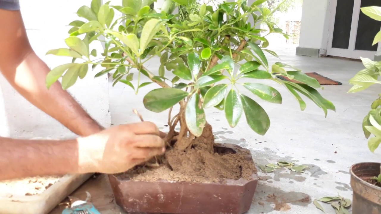 how to make schefflera plant as bonsai tips and care re potting