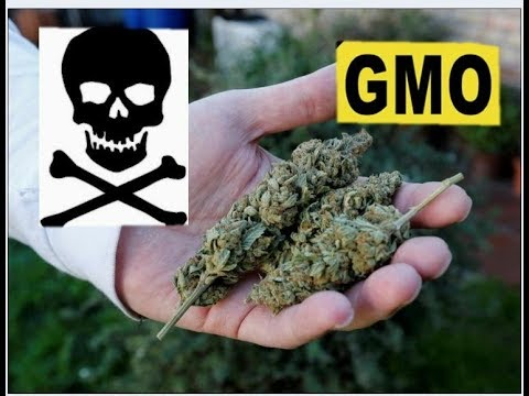 Download First Gmo Weed Review On Youtube MP3, MKV, MP4 - Youtube to MP3