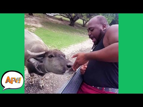Don't Have a COW! 🐮 😂 | Funny Fails & Reactions | AFV 2020
