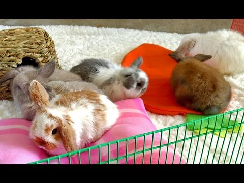 Bunny Update - 5 1/2 Week Old Holland Lop Babies