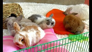 Bunny Update - 5 1/2 Week Old Holland Lop Babies