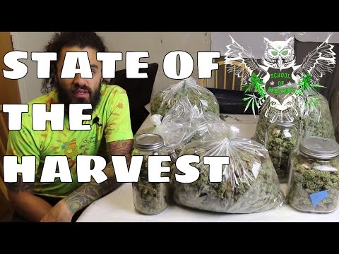 State of the Harvest | What We Did to Increase Our Yield in our Weed Garden | Marijuana Harvest