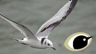 BTO Bird ID - Kittiwake and Other Small Gulls