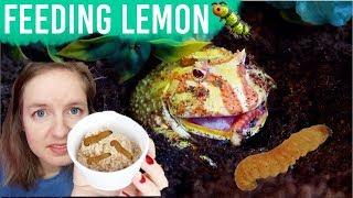 Feeding My Pacman Frog Butterworms