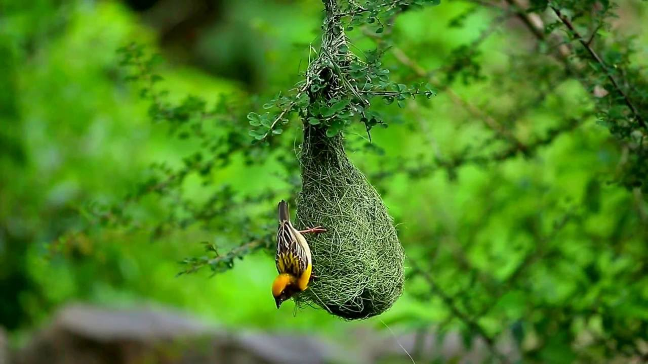 baya weaver nest building by nilesh more photography youtube. Black Bedroom Furniture Sets. Home Design Ideas