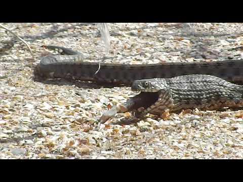 Редкие кадры!!! Большие змеи Азовского моря и их охота на рыбу.