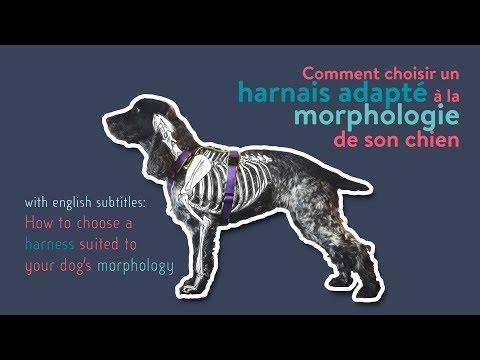 Comment choisir un harnais adapté à la morphologie de son chien