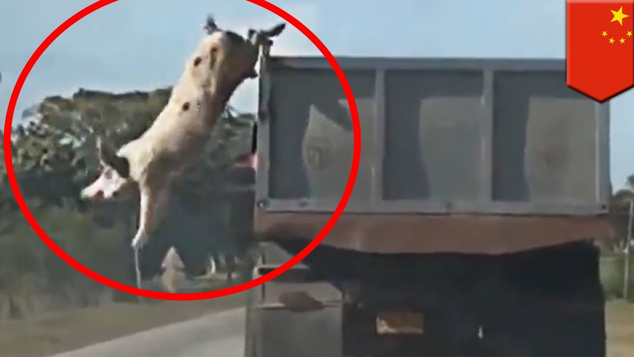 Brave animals: Pigs jump from moving truck to escape ... - photo#15