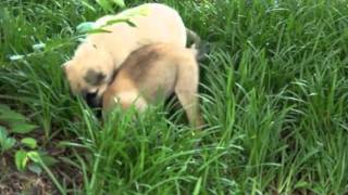 Great Pyrenees/boxer/german Shepherd Mix Puppies - Afh