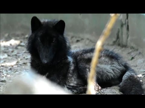 A grey wolf named Amarok now in a Colombia zoo