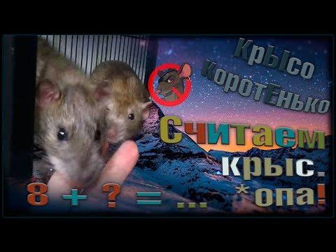 А давайте посчитаем крыс! Супер подселение, и моя любимая стая. (Fancy Rats | Wild Rats)
