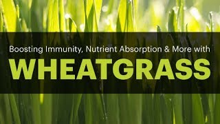 7 Evidence Based Benefits of Wheatgrass for Weight Loss, Skin, Hair & Anemia