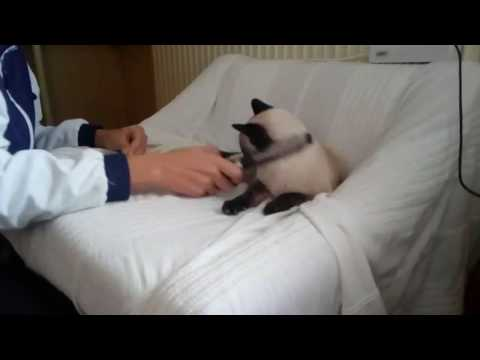 Siamese cat does not like to comb