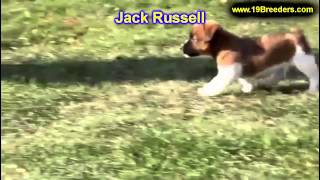 Jack Russell, Puppies, For, Sale, In, Billings, Montana, MT, Missoula, Great  Falls, Bozeman