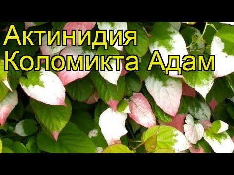 Актинидия коломикта Адам (Adam). Краткий обзор, описание характеристик, где купить саженцы