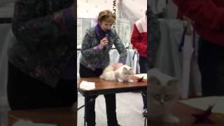РосКошная зима 2017 5.02 Выставка кошек. Невская маскарадная