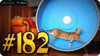 Приколы с животными №182   Кошка в колесе  Смешные животные  Animal videos