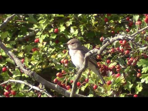 Spotted Flycatcher at Upton Warren