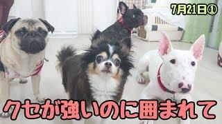 ミミちゃん『みんなクセが強い!』 ミックス犬 ロイドくん パグ エヴァ...