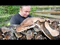 A TRULY GIANT SNAKE!! PACKING VENOMOUS GABOON VIPERS!! | BRIAN BARCZYK